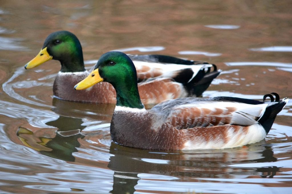 Two almost identical ducks.