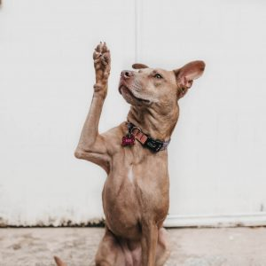 A dog raising its hand.